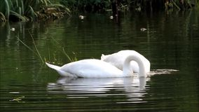 Two swans swimming in the lake and searching fodder. Two swans swimming in a lake and searching fodder stock video footage