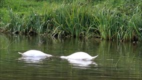 Two swans swimming in the lake and searching fodder stock video footage