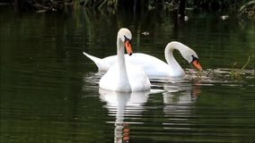 Two swans swimming in a lake. Two swans searching for fodder in lake at shore stock video