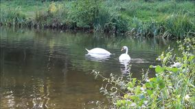 Two swans swimming in a lake stock video footage