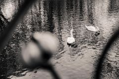 Two swans swimming in the lake shot through the fencing