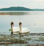 Two swans at lake royalty free stock photo