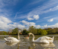 Two swans swimming  in Leazes Park pond in Newcastle, UK Royalty Free Stock Images