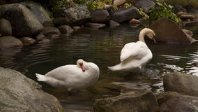 Two swans swimming in a pond. They clean their feathers stock video footage