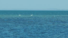 Two swans swimming in the sea. Two swans looking for food in the sea stock video footage