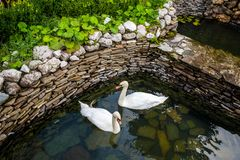 Two swans swimming Stock Image