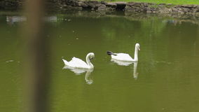 Two swans are swimming in a small lake in park stock footage