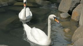 Two Swans Are Swimming In A Small Lake In Park. White Swans Swim In A River, A City Park stock video footage