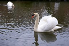 Swans swimming together Royalty Free Stock Photography