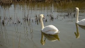 Two swans swimming together in pond.  stock video footage