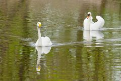 Two swans swimming toward you each after another. Reservation Askania Nova, Ukraine Stock Image