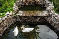 Two swans swimming Royalty Free Stock Photo