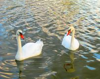 Two Swans Swimming In Water stock photography