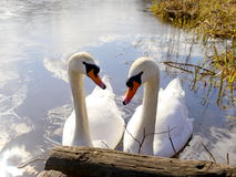 Two Swans Togetherness Stock Image