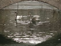 Two swans under a bridge stock images