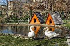 Two swans are walking by the pond in the park royalty free stock photos