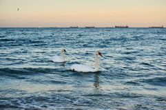 Two swans in a warm evening light at the sea. Two swans in a warm evening light swimming in the Baltic sea stock photos
