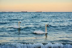Two swans in a warm evening light at the sea. Two swans in a warm evening light swimming in the Baltic sea royalty free stock photos