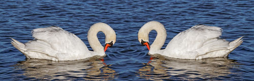 Two swans on water. Royalty Free Stock Photos