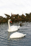 Two swans in water Royalty Free Stock Photos