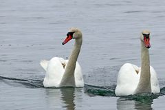Two swans on the water. In cloudy weather Royalty Free Stock Photos