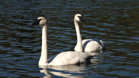 Two swans on water. Video of two swans on water stock video footage