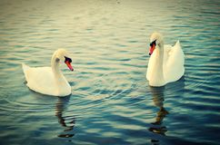 Two swans. Royalty Free Stock Photo