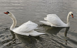 Two swans. Stock Image