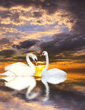 Two swans. Two white swans on water Stock Images