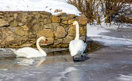Two swans in the winter on the river near the not frozen water_ royalty free stock image