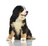 Two sweet Berner Sennenhund or Bernese Mountain puppies sitting Royalty Free Stock Photos