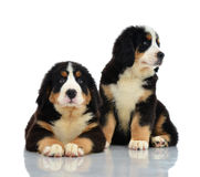 Two sweet Berner Sennenhund or Bernese Mountain puppies sitting Stock Image