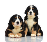 Two sweet Berner Sennenhund or Bernese Mountain puppies sitting Stock Photos