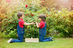 Two sweet boys, gathering red currants from their home garden. Summertime stock images