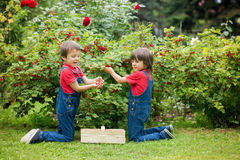 Two sweet boys, gathering red currants from their home garden. Summertime stock image