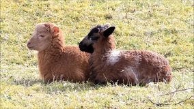 Two sweet brown baby lambs. Lying on meadow in springtime stock footage