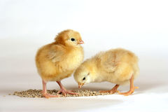 Two sweet Chicks feeding grain Royalty Free Stock Image