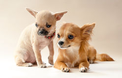 Two sweet chihuahua puppies Royalty Free Stock Photos