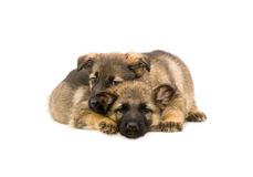 Two sweet Germany sheep-dog puppies Stock Photos