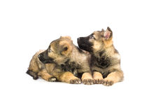 Two sweet Germany sheep-dog puppies Royalty Free Stock Images