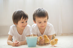 Two sweet little children, preschool boys, brothers, playing wit. H little chicks at home, baby chicks in child hands royalty free stock photography