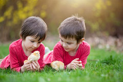 Two sweet little children, preschool boys, brothers, playing wit. H little chicks  in the park, springtime Stock Photography