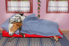 Two sweet long sleeping Horses are sleeping in the bed. Stock Photo