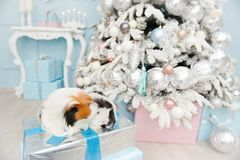 Two sweet longhaired guinea pigs sitting on boxes with new year. Gift in christmas decoration stock image