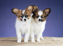 Two sweet puppy Papillon Stock Photos