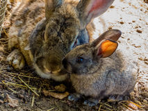 Two sweet rabbits. A mother and her baby Royalty Free Stock Images
