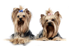 Two sweet yorkshire terriers relaxing in  wehite studio Royalty Free Stock Images