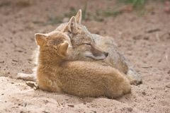 Two swift foxes Royalty Free Stock Image