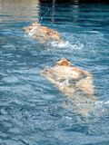 Two swimmers training Stock Photography