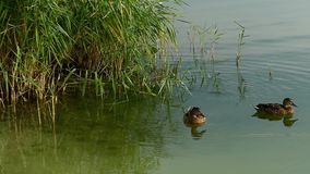 Two swimming brown ducks in a lake with sedge in slo-mo. An original view of two brown ducks swimming in the lake in slow motion. They enjoy their lives in the stock footage